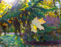 Beautiful yellow and orange single autumn maple leave on the spruce tree branch in the evening sun closeup. Beautiful yellow and orange autumn maple leave on the Stock Photography
