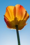 Beautiful yellow and orange single tulip Royalty Free Stock Photos
