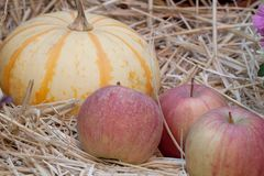 Storage of pumpkin and apples. Beautiful yellow-orange striped pumpkin and apples on the hay stock photography