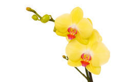 Free Beautiful Yellow Orchid Royalty Free Stock Image - 16213406