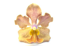 A beautiful yellow orchid Royalty Free Stock Photo