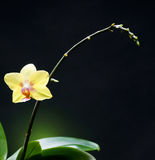 Beautiful  yellow orchid. On a dark green background Stock Photography