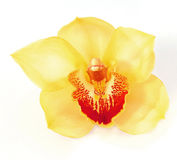 Beautiful yellow orchid Stock Images