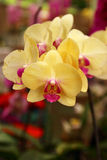 beautiful yellow orchid branch on tropical garden Stock Photography