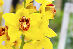 Beautiful yellow orchid flower blossom macro close up Stock Images