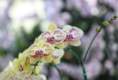 Beautiful yellow orchid flower in garden; bokeh abstract backgro Royalty Free Stock Photos