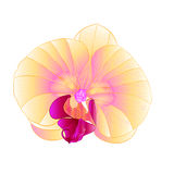 Beautiful yellow Orchid flower tropical Phalaenopsis closeup isolated vintage  vector. Illustration hand draw Royalty Free Stock Image