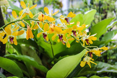 Beautiful yellow orchid in garden Stock Image