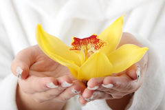 Beautiful yellow orchid in palms Royalty Free Stock Image