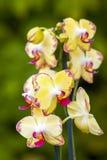 Beautiful yellow orchid  - phalaenopsis Stock Photos