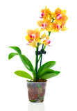 Beautiful yellow orchid in pot Stock Photo