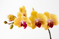 Beautiful yellow orchid on the white background. Royalty Free Stock Photo