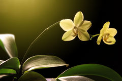 Beautiful yellow orchidea - phalaenopsis Royalty Free Stock Photos