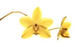 Beautiful yellow orchidea - phalaenopsis Royalty Free Stock Photography