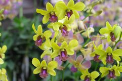Beautiful yellow orchids background Stock Images