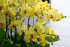Beautiful yellow orchids. Beautiful branch of yellow orchids with gray background stock photo