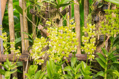 Beautiful yellow orchids in garden. Phuket, Thailand Royalty Free Stock Photo