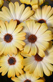 Beautiful yellow osteospurmum flowers Royalty Free Stock Photography