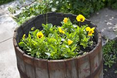 Beautiful yellow pansies in a wooden barrel Royalty Free Stock Images