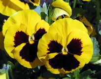 Yellow pansy flowers in garden, lithuania Stock Images