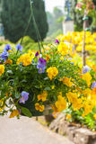 Beautiful yellow pansy flowers Stock Photos