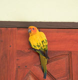 Beautiful yellow parrot Sun Conure image on a wooden door. Stock Images