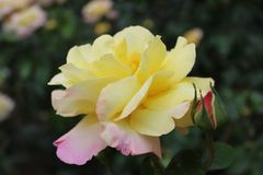 Beautiful Yellow Peace rose with pink tinge. And small rosebud next to it against a blurred green background Royalty Free Stock Images
