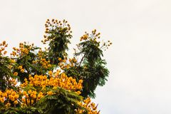 Beautiful yellow Peltophorum pterocarpum flowers on tree, common Stock Photography