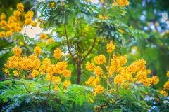 Beautiful yellow Peltophorum pterocarpum flowers on tree, common Stock Photo