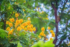 Beautiful yellow Peltophorum pterocarpum flowers on tree, common Royalty Free Stock Images
