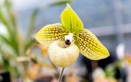 Beautiful yellow phalaenopsis orchid stock photos