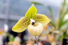 Beautiful yellow phalaenopsis orchid Royalty Free Stock Images