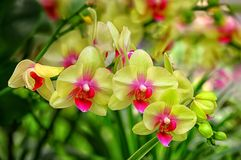 Beautiful bunch of yellow phalaenopsis orchids. Beautiful bunch of phalaenopsis orchids against natural background royalty free stock photos