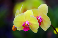 Beautiful yellow phalaenopsis orchids Royalty Free Stock Images