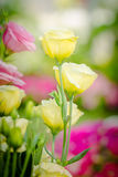 Beautiful yellow and pink lisianthus flower Royalty Free Stock Photography