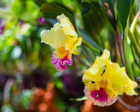 Beautiful yellow and pink orchids Royalty Free Stock Photos