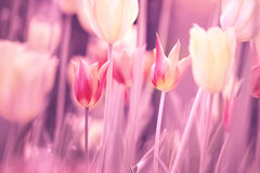 Beautiful yellow pink red blurred tulips flower Royalty Free Stock Photos