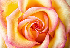Beautiful yellow-pink rose Stock Images