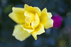 Beautiful yellow and pink rose. Beautiful yellow  and pink rose in the garden Royalty Free Stock Photo