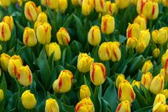 Beautiful yellow and pink tulip flowers in spring garden.  stock photos