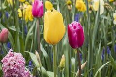 Beautiful yellow and pink tulips royalty free stock photo