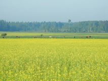 Yellow field and cow animal, Lithuania Stock Image