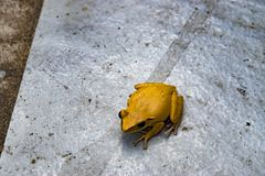 Beautiful yellow poison frog. Yellow frogs royalty free stock photos