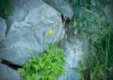 Beautiful yellow poppy flower grows among the rocks stock photos
