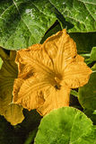 Beautiful yellow pumpkin flower on background of green leaves.  Stock Images