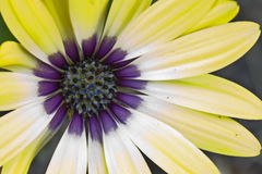 Beautiful Yellow and Purpe Daisy Blazing in the Summer Sun. Beautiful yellow and purple centered daisy basking in the summer sun Royalty Free Stock Images