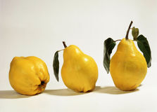 Beautiful yellow quinces royalty free stock images
