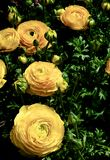 Yellow Ranunculus Flowers Royalty Free Stock Image