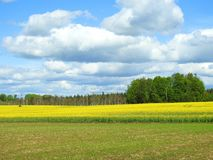 Yellow rape field and cloudy sky, Lithuania. Beautiful yellow rape field, trees and nice cloudy sky in spring stock photos