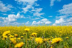 Field of yellow flowering rape and a blue sky and dandelions royalty free stock images